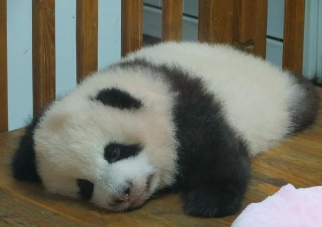 Ollapa panda!