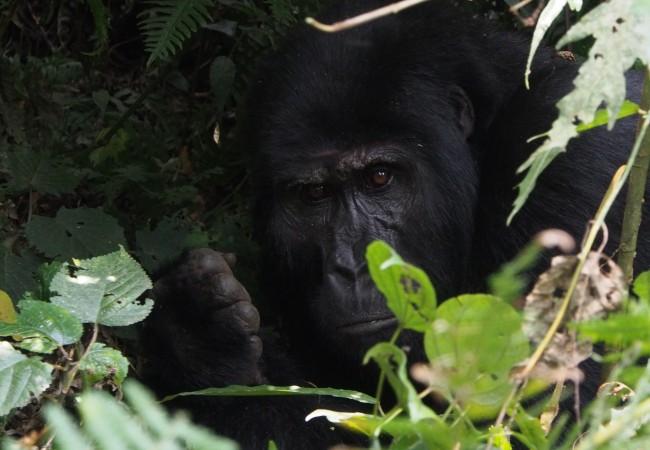 Vuorigorillojen kotona Bwindissä Ugandassa