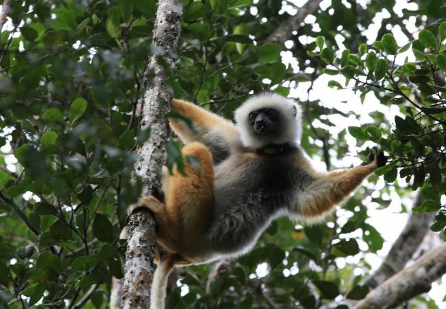 Lemureiden kotona (Andasibe, Madagaskar)