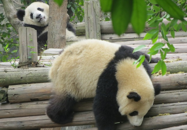Ensimmäinen pandaretki