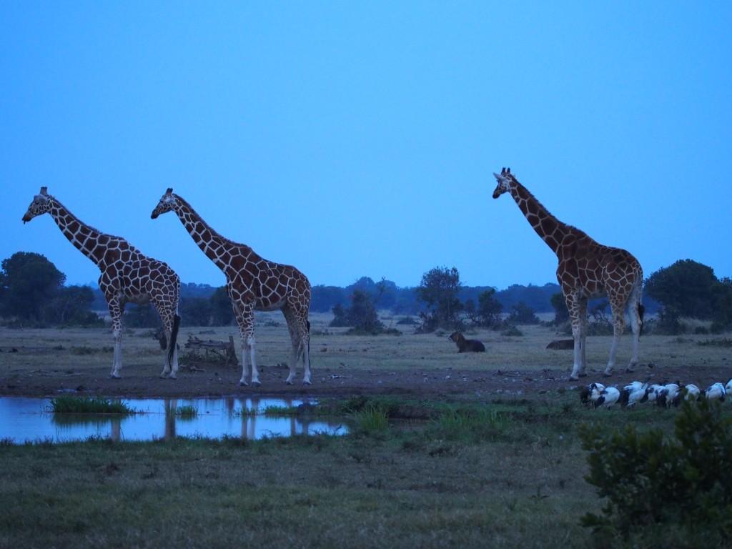 Sininen hetki kirahvien kanssa