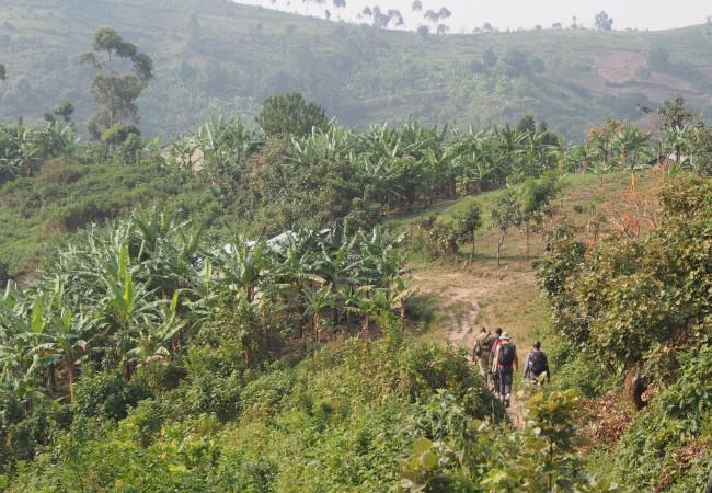 Sohvaperuna kiipeää viidakossa