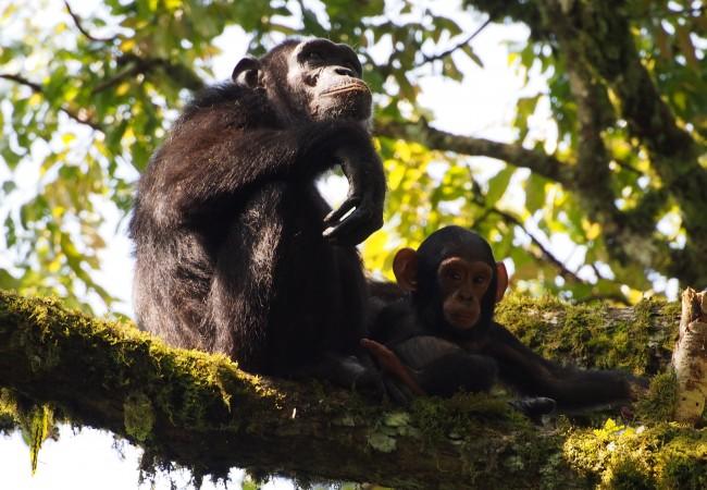 Lisää luonnon tarjoamia ihmeitä – simpanssien mukana metsässä