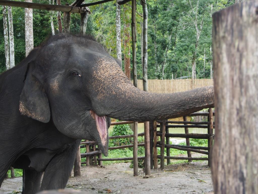 Elefantteja ja uskomattoman kauniita maisemia Khao Sokissa
